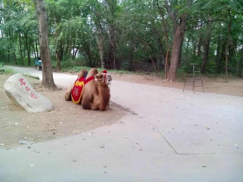 武警学院游玩-骆驼照片